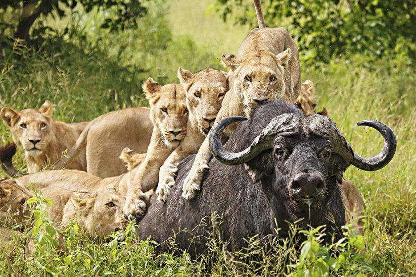 African Lion Facts - The Sub-Saharan Big Cats - PinStorus